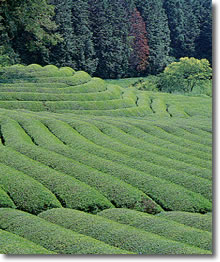 古内地区の茶畑